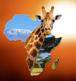 Africa Wildlife Map Design. With geraffe and kilimanjaro stock photography