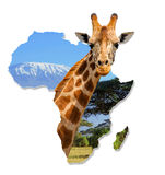 Africa Wildlife Map Design. With geraffe and kilimanjaro - Isolated on White royalty free stock photos