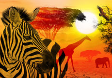 Africa wildlife and nature concept. Wildlife and beautiful sunset in the Serengeti Park. Tanzania. Africa. Heat, drought and global warming Stock Image