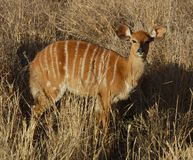 Africa Wildlife: Nyala Antelope. Female Nyala antelope in South Africa Royalty Free Stock Photography