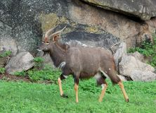 Africa Wildlife: Nyala Antelope. Male Nyala antelope in South Africa Stock Photography
