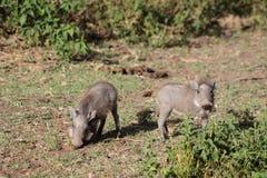 Africa wildlife, warthog baybies. Warthog in African savana on dry grass at safari game wild nature in Masai Mara, Amboseli, Samburu, Serengeti and Tsavo Stock Photos