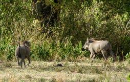 Africa wildlife, warthog. Warthog in African savana on dry grass at safari game wild nature in Masai Mara, Amboseli, Samburu, Serengeti and Tsavo national parks Royalty Free Stock Photography
