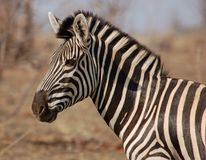 Africa Wildlife: Zebra Stock Photos