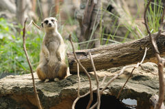 africa zamieszkuje południowe meerkat porcje Fotografia Royalty Free