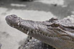 africa zdobycza zakończenia kursu krokodyla golfa Hans merensky phalaborwa obrazka południe merensky był obraz stock