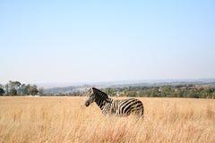 africa zebra Zdjęcia Royalty Free