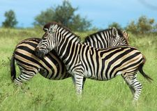 Africa: Zebra. Two Burchell's Zebra in the Kruger National Park, South Africa Stock Photos