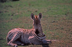 Africa-Zebra. Very young zebra colt,Africa Royalty Free Stock Images