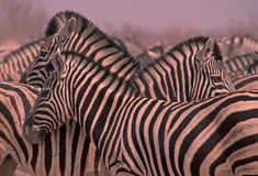 Africa-Zebra. Zebra herd gathered at an Etosha waterhole Royalty Free Stock Photo