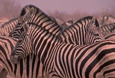 Africa-Zebra Royalty Free Stock Photo
