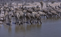 Africa-Zebras Royalty Free Stock Photography