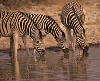 Africa-Zebras drinking. Gevry's zebra at a waterhole. Photographed in Etosha National Park, Namibia Royalty Free Stock Images