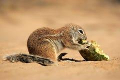 africa zmielona południe wiewiórka Zdjęcia Stock
