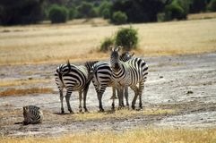 Africa, Zoology, Zebra. Africa, herd of Zebras in Amboseli National Park Royalty Free Stock Photography