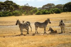Africa, Zoology, Zebras. Africa, Zebras in Amboseli National Park Stock Photography