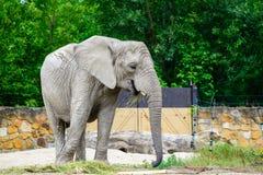 Africain d'éléphant au zoo photo stock