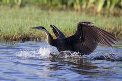 Africain Dater décollant de l'étang après pêche photo stock
