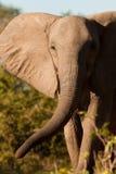 Africain Elepahnt Images stock