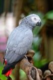Africain Grey Parrot Photo stock