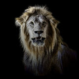 Africain masculin Lion Portrait Front image stock