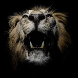 Africain masculin Lion Portrait Front With Teeth photographie stock