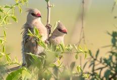 Africain Mousebirds photographie stock libre de droits