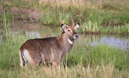 Africain Waterbuck sur Mara photos stock