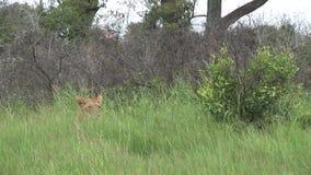 AfricaKenya peligroso salvaje del mamífero del león almacen de video