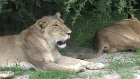 AfricaKenya peligroso salvaje del mamífero del león metrajes