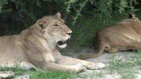 AfricaKenya pericoloso selvaggio del mammifero del leone stock footage