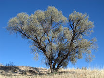 African Acacia tree Royalty Free Stock Photos