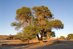 African Acacia tree Royalty Free Stock Photos
