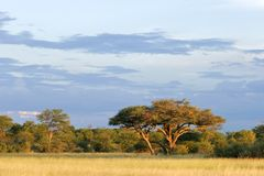 African Acacia tree Stock Photo