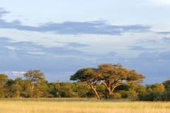 African Acacia tree Stock Photo