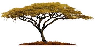 African Acacia tree. African Acacia tree isolated on white background stock illustration