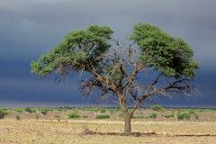 African Acacia tree Stock Photos
