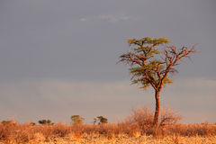 African Acacia tree Stock Photos