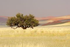 African Acacia tree, Sossusvlei, Namibia Royalty Free Stock Photography