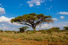 African acacia trees landscape in savannah bush. African genus Acacia umbrella trees in savanna bush. Savannah wild life nature national park reserve. Wild royalty free stock images