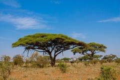 African acacia trees in savanna bush. African genus Acacia umbrella trees in savanna bush. Savannah wild life nature national park reserve. Wild safari scenic stock photos