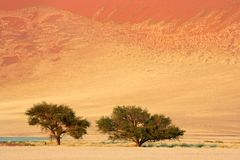 African Acacia trees, Sossusvlei, Namibia Stock Photos