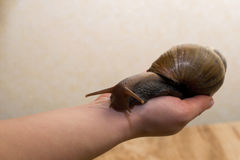 African Achatina snail in hand Royalty Free Stock Image