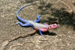 African Agama Lizard Royalty Free Stock Photos