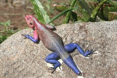 African Agama Lizard. A male Blue and purple Agama lizard during the mating season sitting on a rock Stock Image