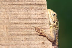 African agama lizard climbing a vertical wall Royalty Free Stock Photo