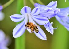 African agapanthus (Agapathus africanus) with bumble bee Stock Image