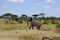An African agitated elephant. Angry elephant walking in landscape  in a national park Royalty Free Stock Photography