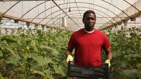 African-american farmer carrying plastic box full of cucumbers in greenhouse