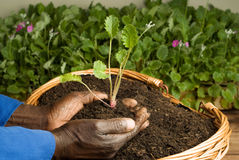 African American Gardener Planting new Plant Royalty Free Stock Images